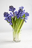 Hyacinths in a glass of water