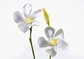 Two jasmine flowers