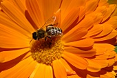 Marigold with bee (close-up)