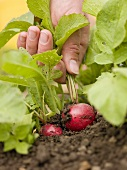 Hand pulling a radish out of the soil