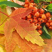 Autumn leaves and pyracantha