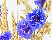 Cornflowers and cereal ears