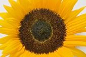 Eine Sonnenblume (Draufsicht)