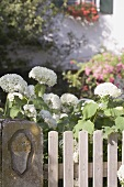 Hydrangeas by wooden fence in front of farmhouse