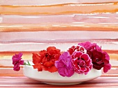'Camelia', 'Rubin' and 'Eydangeri' carnations