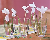 White cyclamen with pine needles in glasses
