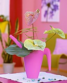 Painter's palette & Swiss cheese plant leaf in pink watering can