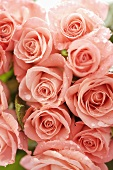 Pink roses (close-up)