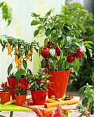 Pepper, chili and ornamental pepper plants in red pots