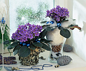Two pots of African violets with Advent decorations