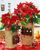 Poinsettia 'Cortez Fire' in wicker cache-pots