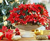 Weihnachtsstern der Sorte 'Sonora White Glitter'