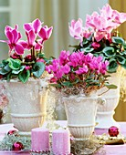 Three cyclamens with Christmas decorations