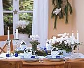 Alpenveilchen als weihnachtliche Tischdeko mit blauen Kugeln.