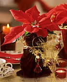 Poinsettia with velvet bag as cache-pot