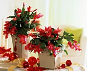 Red Christmas cactuses in square pots