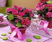 Azalee mit rosa Blüten