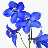 Delphinium 'Delphinium Blue'