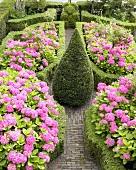 Box hedges and hydrangeas in garden