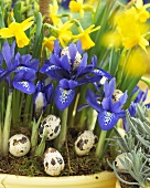 Iris reticulata and 'Tete a 'Tete' narcissi with quails' eggs in flowerpot