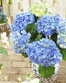 Hydrangea 'Blue Heaven' in flowerpot