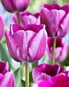 Tulip 'Andre Rieu'