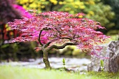 Japanese maple (Acer dissectum Nigrum) in Japanese garden