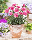 Pinks in flowerpot
