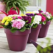 Primulas ('Princess Mix') in flowerpots on terrace