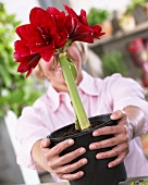 Woman holding amaryllis 'Double Dragon' in flowerpot