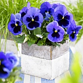 Pansy 'Alpha Blue with Blotch Improv.' in flowerpot