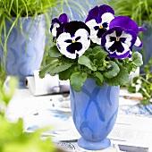 Pansy 'Goliath Purple White' in blue pot