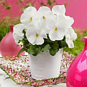 Pansy 'Goliath White' in flowerpot