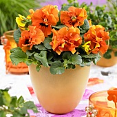 Orange pansies ('Viola x wittrockiana 451) in flowerpot