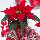 Roter Weihnachtsstern (Euphorbia pulcherrima) im Blumentopf