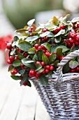 Checkerberries (Gaultheria procumbens) in basket