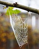 Cobweb on branch