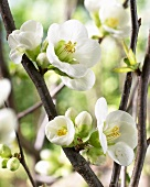 Flowers of the flowering quince ('Pure White Kimono')