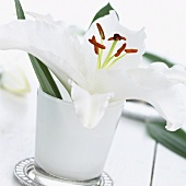 White lily ('Cantarino') in vase