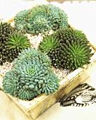 Arrangement of succulents in wooden box
