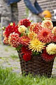 Colourful dahlias in basket outside house