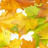 Herbstliche Platanenblätter (Platanus x hispanica)