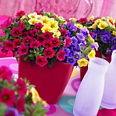 Petunias ('Celebration Carnival')