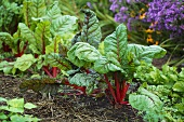 Red-stemmed chard in garden