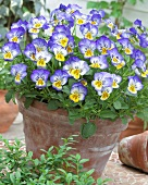 Pansies ('Blue Seal') in flowerpot