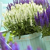 Salvia nemorosa 'White'