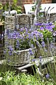 Lavender and campanulas in baskets in garden