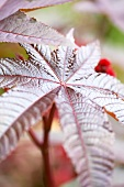 Leaves of castor oil plant (Ricinus communis 'Carmencita Rose')