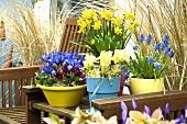 Spring flowers (narcissi, grape hyacinths, iris, pansies) among garden chairs