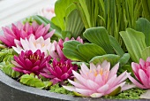 Water plants in stone bowl (water lily, floating fern, water velvet (Azolla natans, water lettuce)